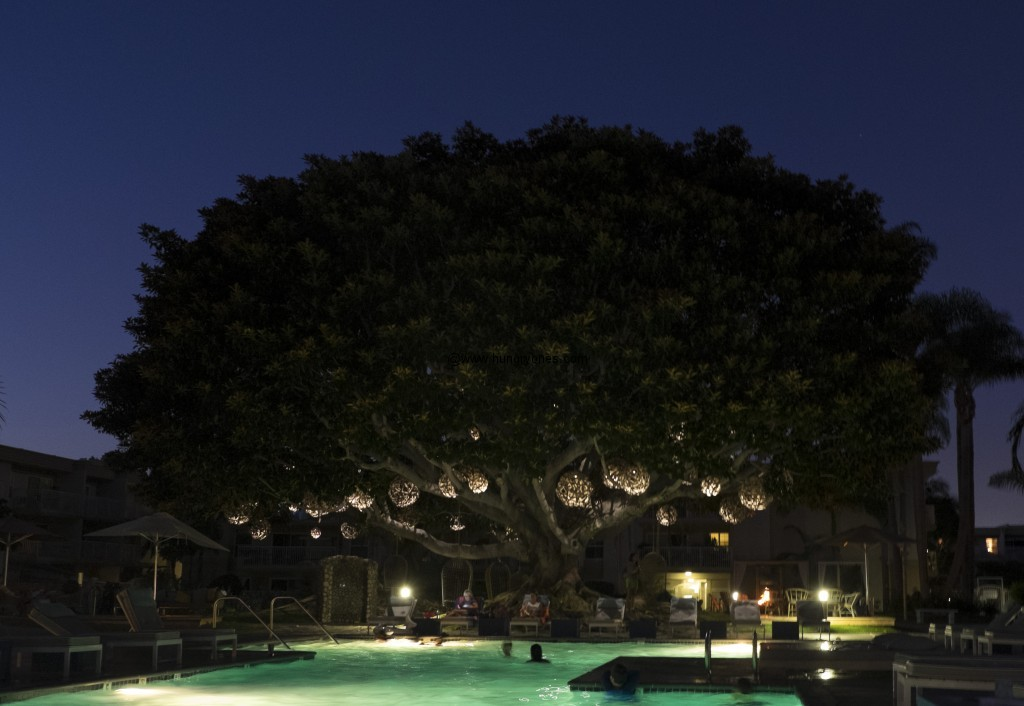 Banyon tree and the swimming pool.